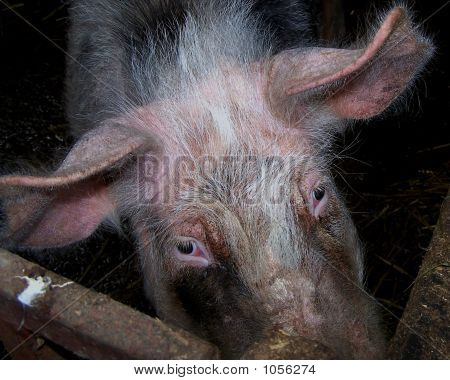 A Pig Peeks