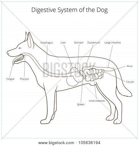 Digestive system of the dog vector illustration