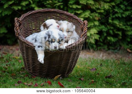 Australian Shepherd Puppies In Wicker Basket Exploring World Around