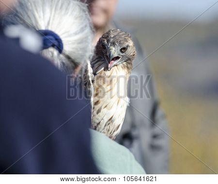 Red-tailed Hawk Before Release