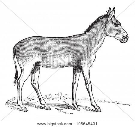 Onager or Hemione or Asiatic wild ass, vintage engraved illustration. Magasin Pittoresque 1867.
