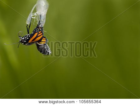 Monarch Butterfly Newborn