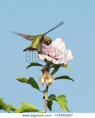 Hummingbird feeding on a light pink flower while hovering, with blue sky background