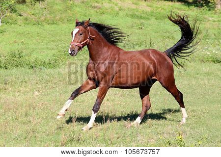 Purebred  Stallion Galloping On Pasture Summertime