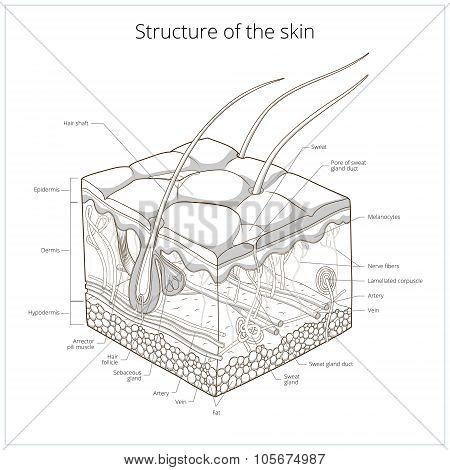 Skin structure vector illustration
