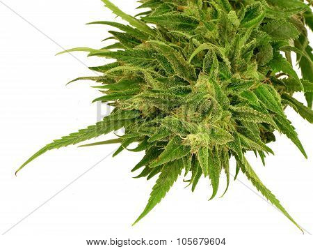 Bright green pollinated marijuana bud close up
