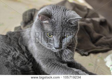 Adult Grey Cat Focused
