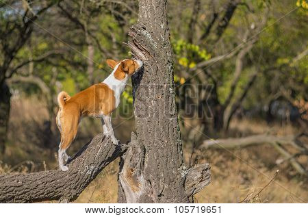 Wild Basenji dog sniffing around its territory on a nearest tree
