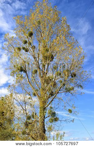 Mistletoe (viscum Album) Poplar Trees In Autumn