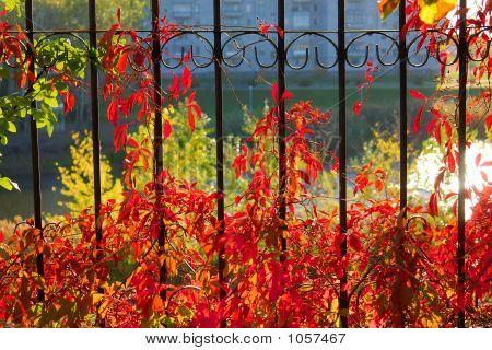 Autumn Grape On Railing