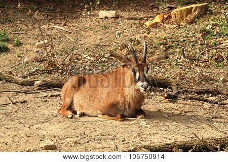 Roan Antelope (hippotragus Equinus) Resting On Sand