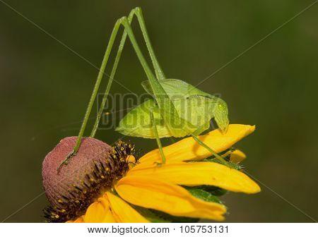 Bush Katydid nymph on Black-eyed Susan flower