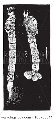 Straw coloured gnat, vintage engraved illustration.