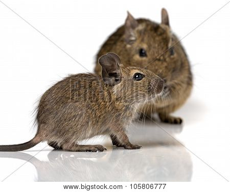 Cute Small Baby Rodent Degu Pet With Its Mom