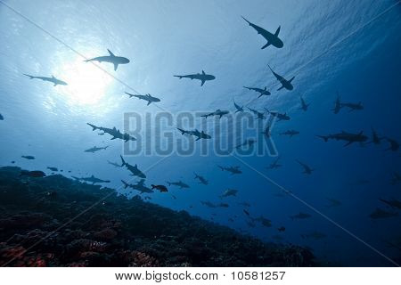 School Of Reef Grey Shark Carcharhinus Amblyrhinchos