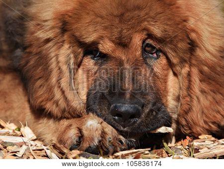 Tibetan Mastiff puppy dog in summer day poster