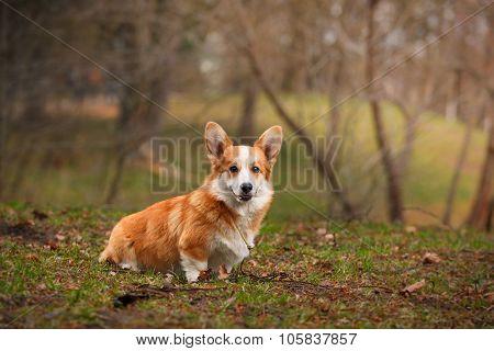 Dog breed Welsh Corgi Pembroke walking in autumn park poster