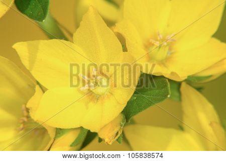 Garden loosestrife point Lysimachia Punctata (garden Loosestrife, Yellow Loosestrife Or Garden Yel