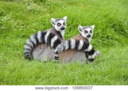 A Pair Of Ringtail Lemurs