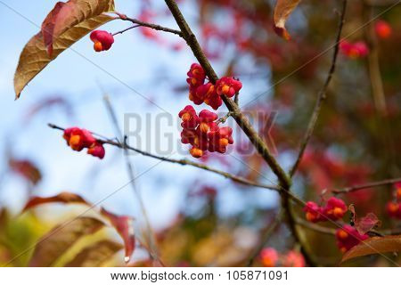 Spindle Berries, Euonymus Europaeus