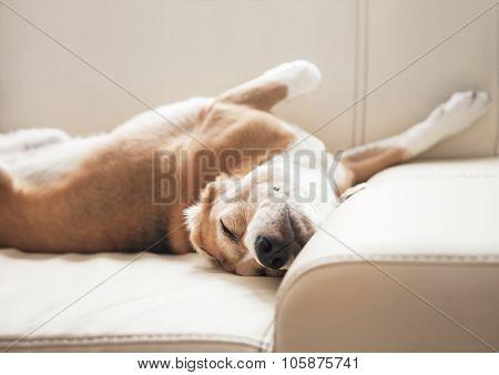 Sleeping Beagle On Sofa