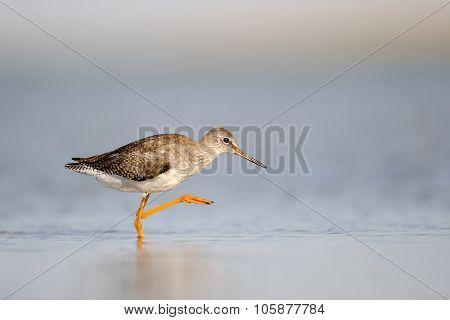 Common Redshank Walking