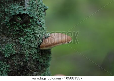 brown polypore mushroom on green tree in autumn forest
