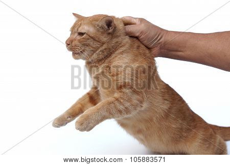 hand grabbing a cat's neck at the back - a safe way the catch a cat
