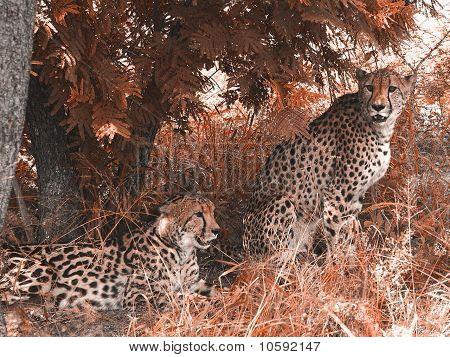 Cheeta and King Cheeta