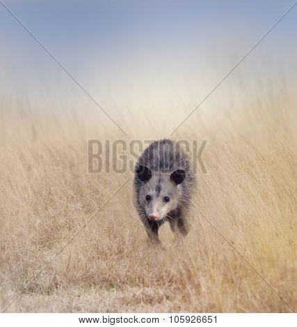 Opossum Walking in Tall Grass