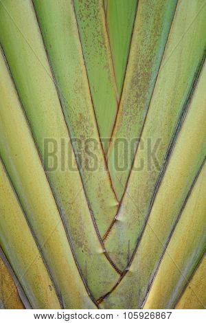 Haulm Of Ravenala Tree Texture - Background