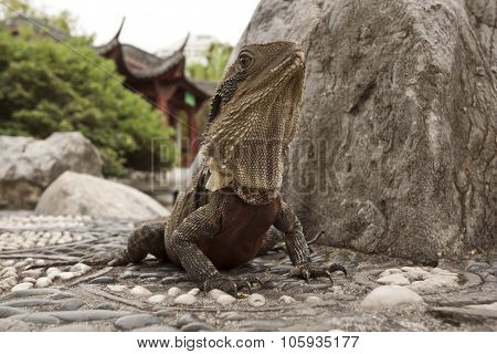Water Dragon , Australia - Physignathus Cocincinus
