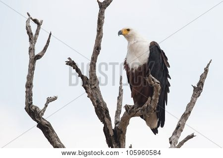 African Fish Eagle (haliaeetus Vocifer) Perched In A Dead Tree