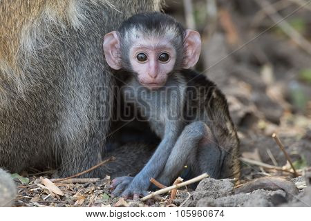 Baby Eastern Vervet Monkey (chlorocebus Pygerythrus) Staring At The Camera
