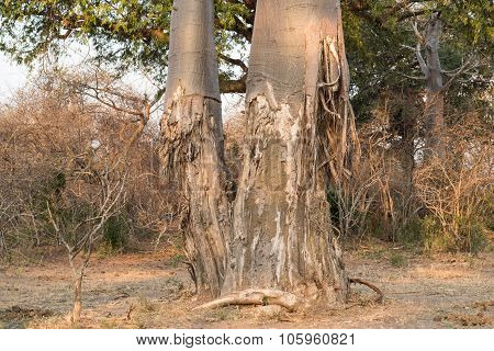 Baobab Tree That Has Been Ravaged By Elephants