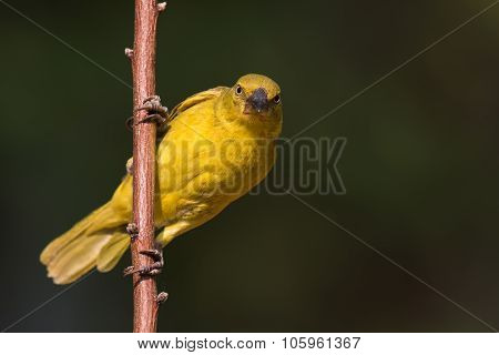 Large Golden Weaver (ploceus Xanthrops) Juvenile Looking At The Viewer