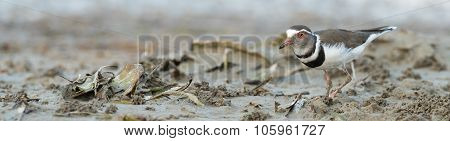 Three-banded Plover (charadrius Tricollaris) Searching For Food In The Mud Flats