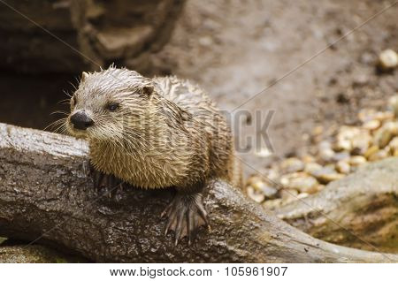 Otter on a tree trunk