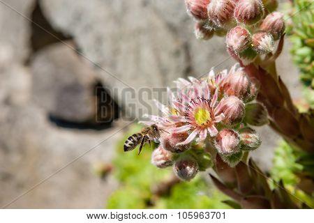 Flowering Houseleek With Buds And Bee (sempervivum Minutum)