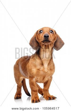 Dachshund isolated on white