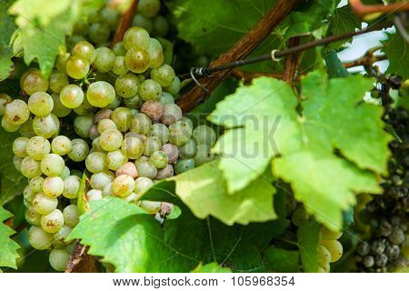 Grapes In Wine Yard