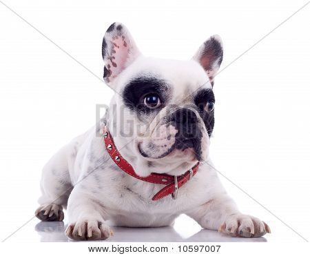 seated French Bulldog in front of a white background poster