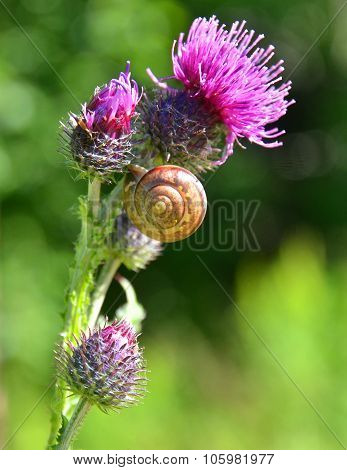 Beautiful Thistle With Snail Shell