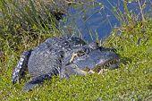 American alligator portrait. Everglades National Park, Florida, USA. poster