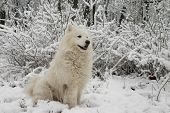 samoyed dog sitting on the snow in the snowy bushes poster