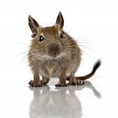 cute small baby rodent degu pet full size closeup view isolated on white poster