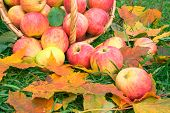 Autumn crop of apples in a basket on a grass poster