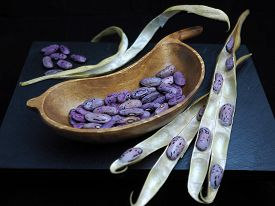 Shelled Purple Runner beans harvest with dried pods