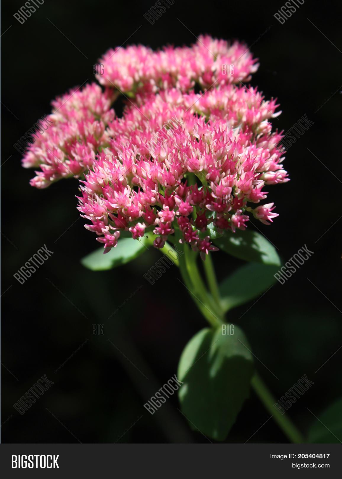 Beautiful Pink Autumn Flowers Sedum Image Photo Bigstock