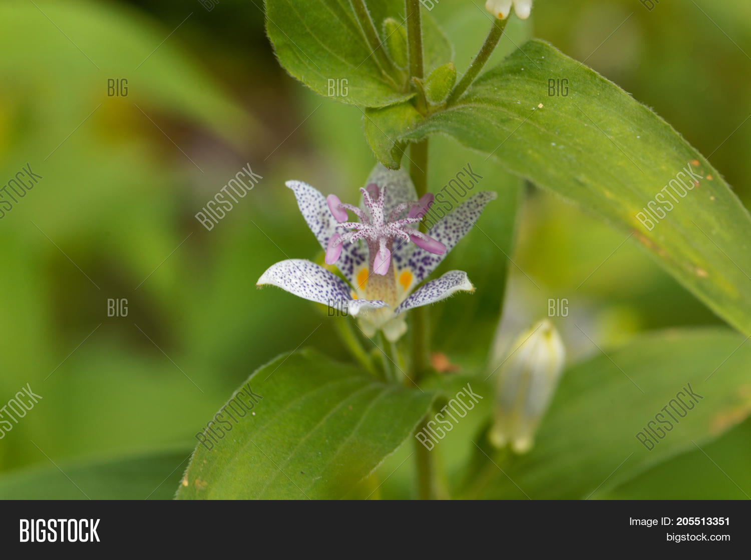 Toad lily flower tricyrtis hirta image photo bigstock toad lily flower tricyrtis hirta izmirmasajfo